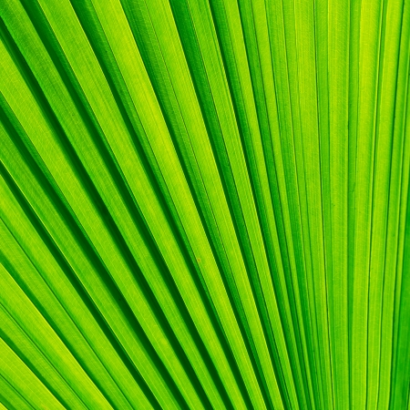 Green palm tree leaf for background Stock Photo - 19319230