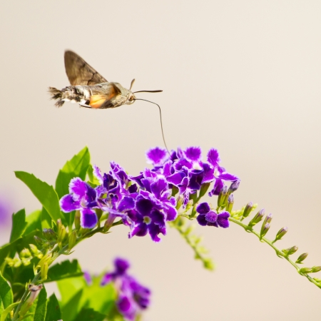 hummingbird hawk-moth hovering over a flower (Macroglossum stellatarum)