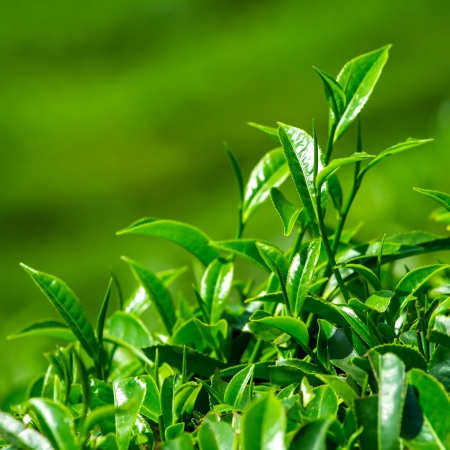 tea plantation: Fresh tea leaves closeup