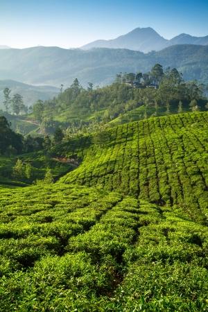 munnar: Beautiful fresh green tea plantation in Munnar, Kerala, India