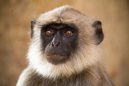 gray langur: Blace faced monkey, grey langur sitting on a tree in Rishikesh, India