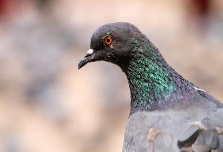Rock Pigeon close-up portrait photo