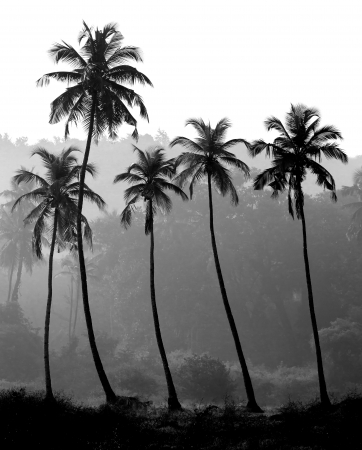 palm fruits: Black and white photo of palm trees silhouette, India