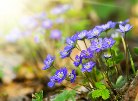 Blue flowers of Hepatica Nobilis close-up  Common Hepatica, liverwort, kidneywort, pennywort, Anemone hepatica  photo