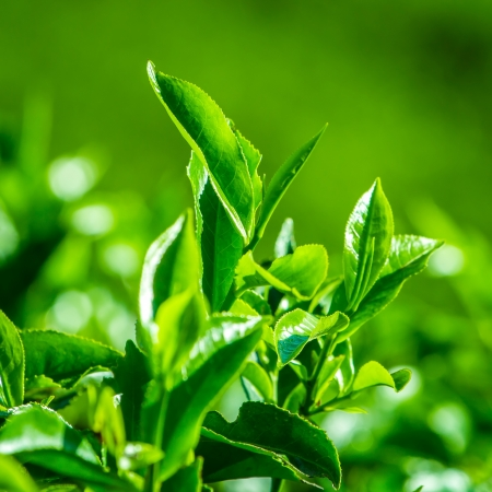 tea estates: Fresh tea leaves closeup