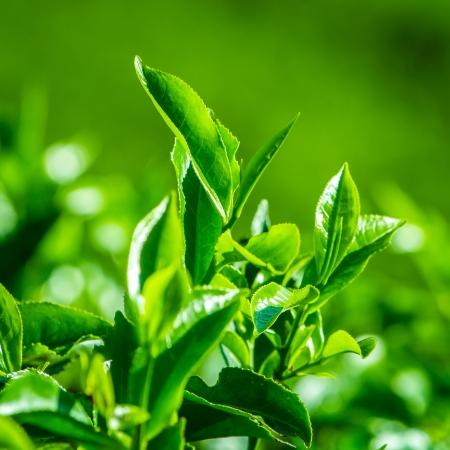 tea garden: Fresh tea leaves closeup