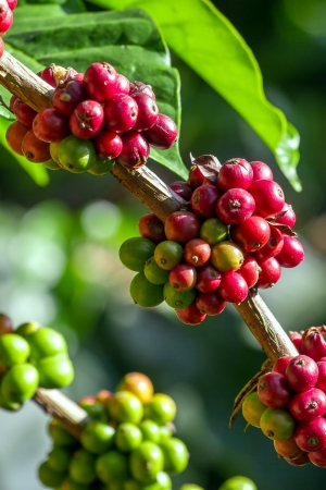 unpicked: Coffee beans ripening on a tree