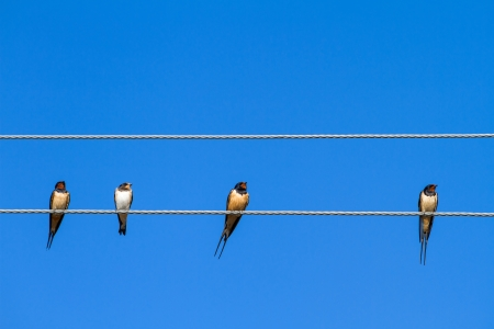 Four swallows sitting on a wire against blue sky background photo