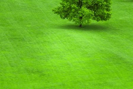 big tree: Single tree on a green grass lawn