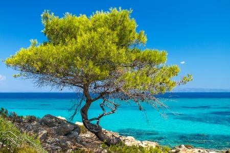 Dennenbos boom door de zee in Halkidiki, Griekenland