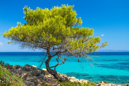 Pine forest tree by the sea in Halkidiki, Greece photo