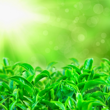 Fresh green tea leaves with sun beams and sunny bokeh photo