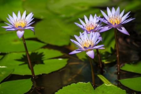 nymphaea: Beautiful blue Egyptian water lily (Nymphaea caerulea) closeup Stock Photo