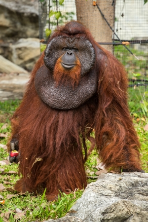 Dominant male orangutan with the signature developed cheek in the Chiang Mai zoo, Thailand photo