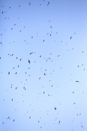 swiftly: A flock of swifts in the sky Stock Photo