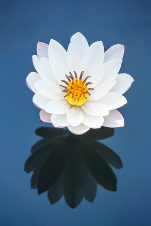 Beautiful white water lily flower reflected in the water photo