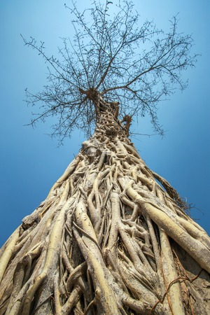 Big tree with roots against blue sky Stock Photo