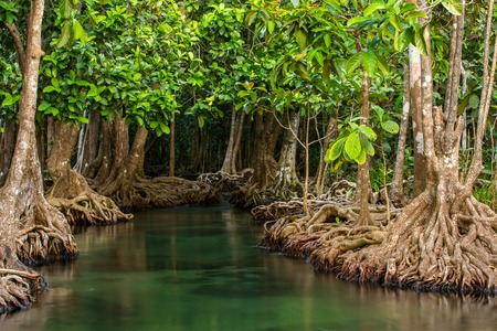 Mangrove trees along the turquoise green water in the stream photo
