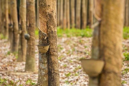Milch Latex aus Gummibaum (Hevea brasiliensis) als Quelle von Naturkautschuk gewonnen