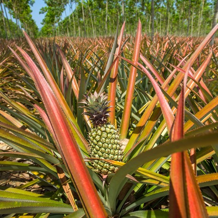 Ripe pineapples growing on the bush at the plantation photo