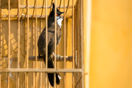 prison house: Red-whiskered Bulbul (Pycnonotus jocosus) in the bird cage