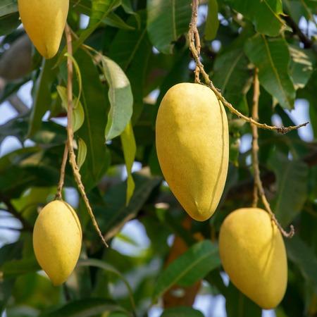 Mango fruits on a tree close-up photo