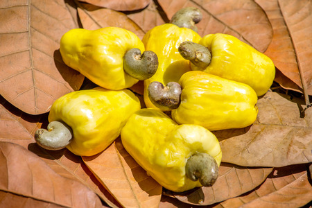 cashew tree: Cashew nut fruits on the leaves