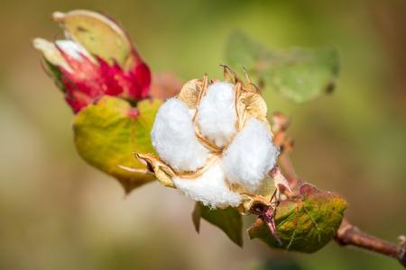 planta de algodon: Primer de la planta de algod�n Foto de archivo