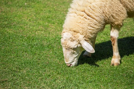 woolly: Woolly sheep grazing on the grass