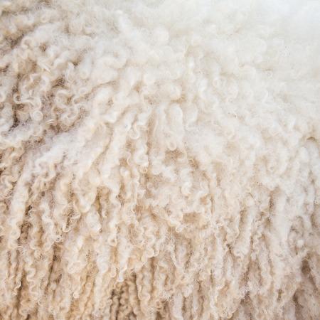 Felt sheep wool close-up background