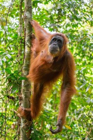 orangutang: Female orangutan hanging on a tree in Gunung Leuser National Park, Sumatra, Indonesia