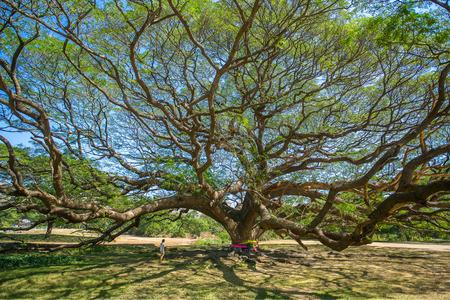 Giant tree in Kanchanaburi province, Thailand. Stock Photo