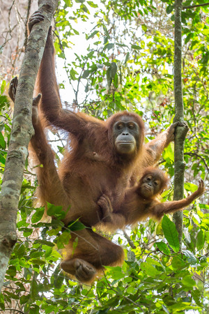 jungle animals: Orangut�n hembra con un beb� colgando de un �rbol en el Parque Nacional de Gunung Leuser, en Sumatra, Indonesia
