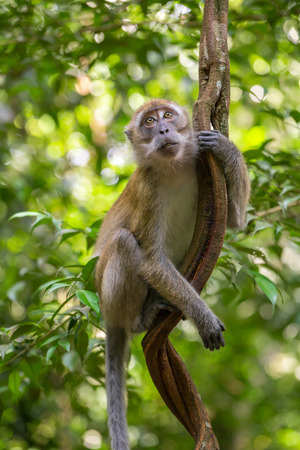 liana: Macaque hanging on a liana in Gunung Leuser National Park, Sumatra, Indonesia
