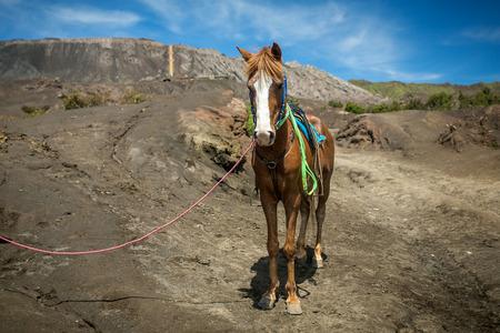 tengger: Horse for tourists rent at Mount Bromo volcanoes in Bromo Tengger Semeru National Park Stock Photo