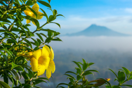 Beautiful yellow flower close up with a Merapi volcano on background, Java, Indonesia. Stock Photo