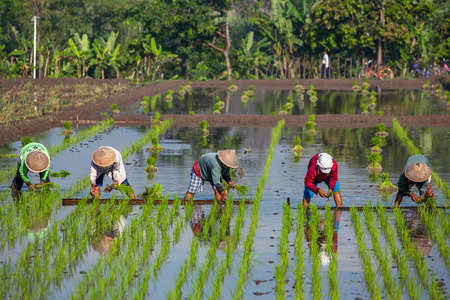 Yogyakarta, Indonesië - 21 april 2015: Landbouwers die Rijst planten in de buurt van Yogyakarta, Indonesië