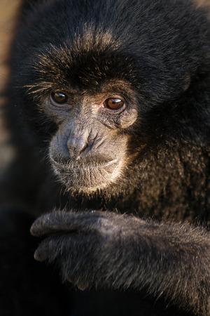 siamang: Black Gibbon named Botti  close up portrait, Bukkitingi, Sumatra, Indonesia