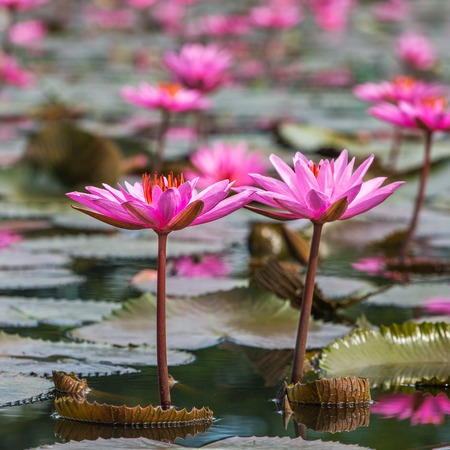 fresh water: Beautiful pink water lily closeup