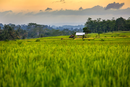 indonesia culture: Rice fields and trees on the horizon at sunset, Bali. Indonesia