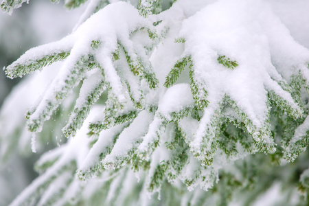 covered in snow: Snow fir tree branches under snowfall. Winter detail Stock Photo
