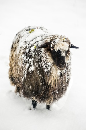 granja: Cute sheep covered with a snow looking into the camera on a snowy day