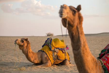 thar: Camels in Thar desert, Rajasthan, India
