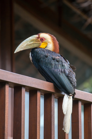 black feathered: Bar-pouched Wreathed Hornbill toucan exotic bird Stock Photo