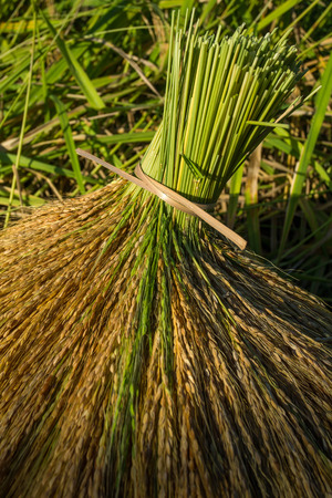 harvest field: Rice sheaves after harvest on the field