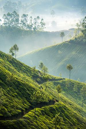 Las plantaciones de t?n Munnar, Kerala, India Foto de archivo