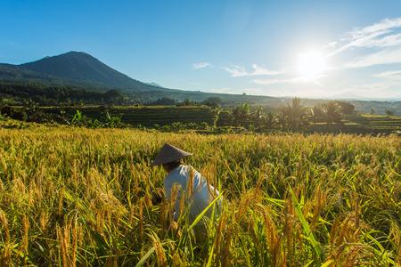 ubud: Woman working on the rice field in Bali, Indonesia Stock Photo