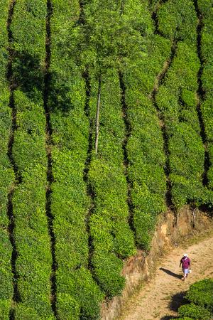 Plantaciones de té en Munnar, Kerala, India