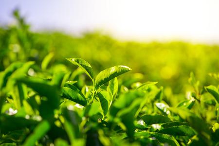 Green tea bud and fresh leaves. Tea plantations in Munnar, Kerala, India Stock Photo