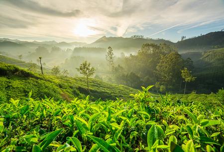 darjeeling: Sunrise over tea plantations in Munnar, Kerala, India